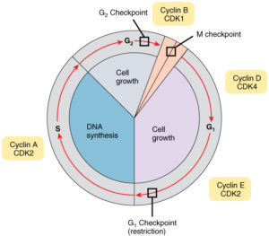 Cell-Cycle-With-Cyclins-and-Checkpoints