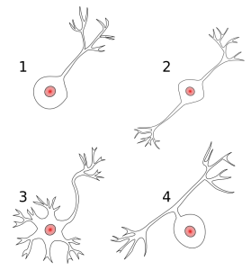 1: Unipolares Neuron 2: Bipolares Neuron 3: Multipolares Neuron 4: Pseudounipolares Neuron