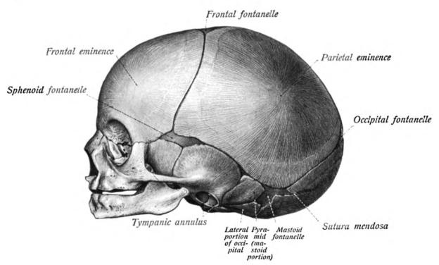 fetal cranium