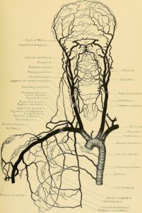 Aorta with branches