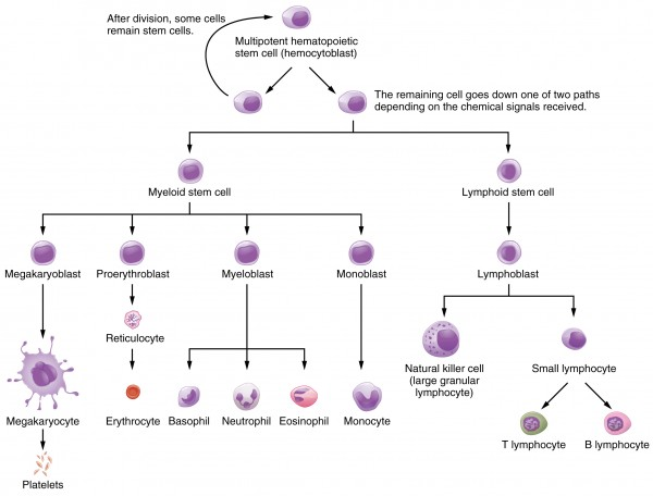 System of hematopoiesis in bone marrow