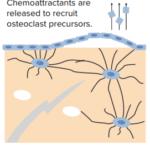 signaling-microdamage-bone-remodeling