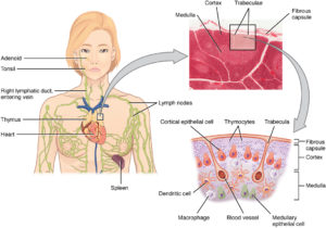 Location Structure and Histology of the Thymus