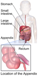 location of the appendix