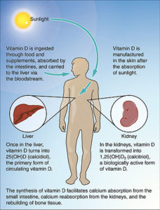 synthesis of vitamin d in the human body