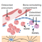 osteoclast-precursor-recruitment-bone-remodeling
