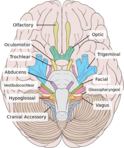origin of the cranial nerves