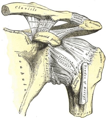 diagram showing the acromioclavicular jointamnd the ligaments reinforcing it and other joints of the shoulder