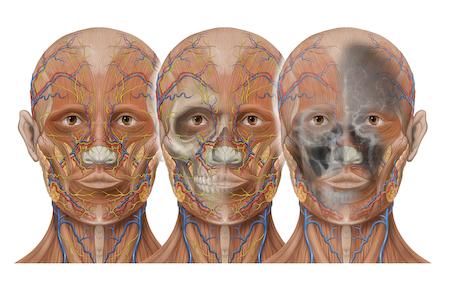 Head anatomy and vasular imaging