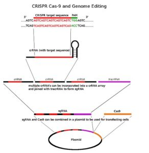 CRISPR overview DNA