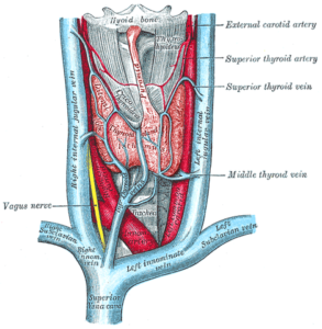 Thyroid gland Gray's Anatomy