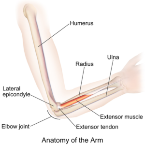 diagram showing the articulation between the humerus and the bones of the forearm (radius and ulna)