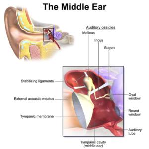Ear Anatomy Middle Ear
