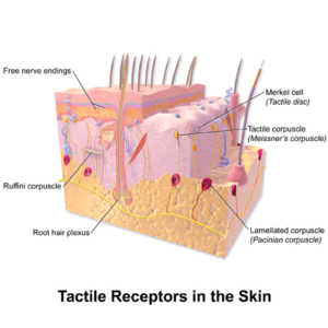 skin tactile receptors