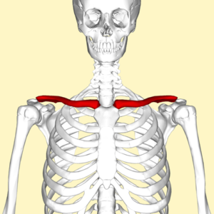 Diagram identifying the two clavicles between the sternum and the upper limbs