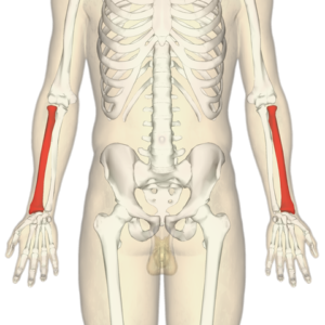 diagram identifying radius of both forearms