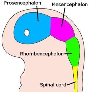 4 week human embryo brain