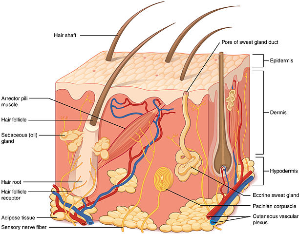 Structure_of_the_skin