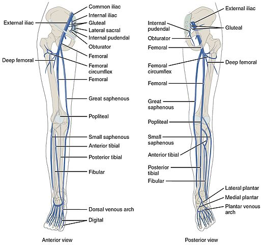 venous drainage of the lower limb