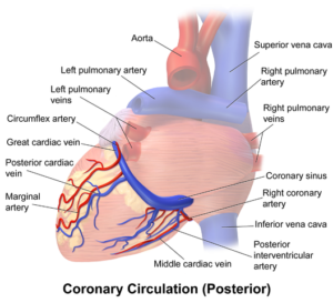 coronary vessels posterior view