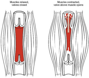 Effect of skeletal activity on venous return and valves.