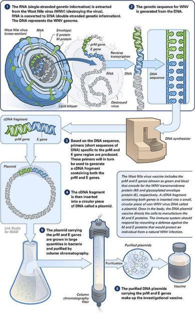 Making of a DNA vaccine