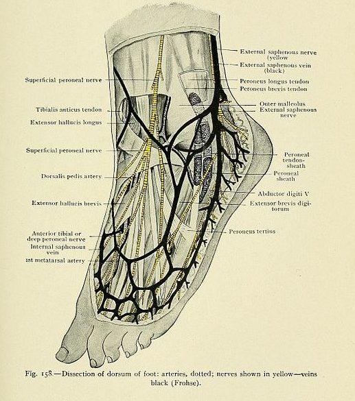 Dissection of dorsum of foot: arteries nerves, veins