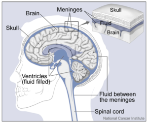 Distribution of cerebrospinal fluid in the brain and spinal cord
