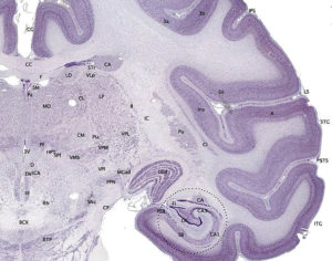 Brainmaps macaque hippocampus nerve tissue brain