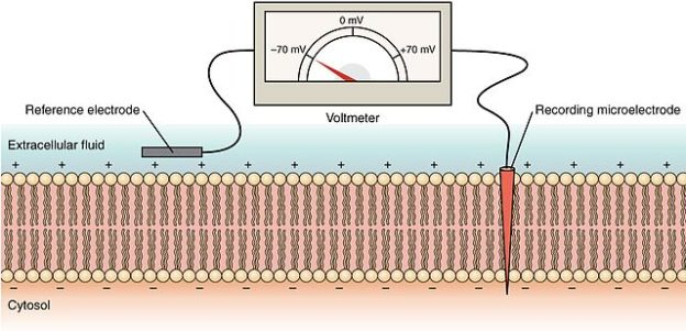 Measurement of membrane potential