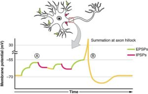 post-synaptic potential summation