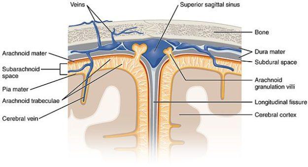meningeal layers