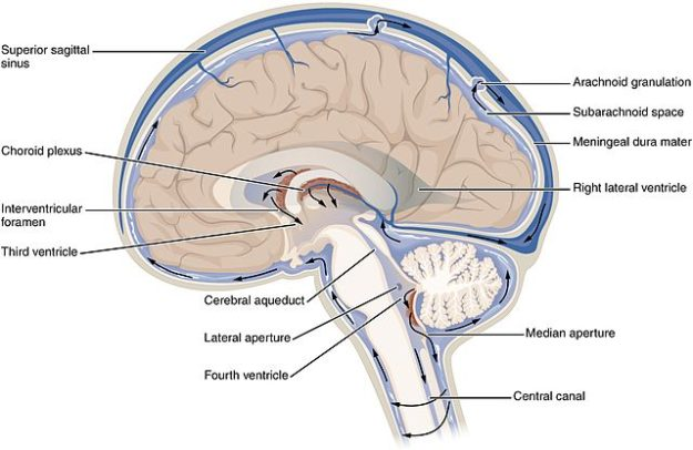 CFS Circulation brain anatomy