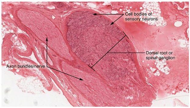 Dorsal Root Ganglion nerve tissue