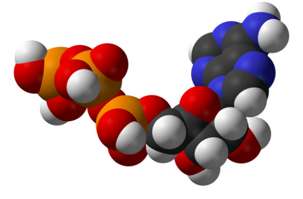 Structure of adenosine triphosphate (ATP), a central intermediate in energy metabolism
