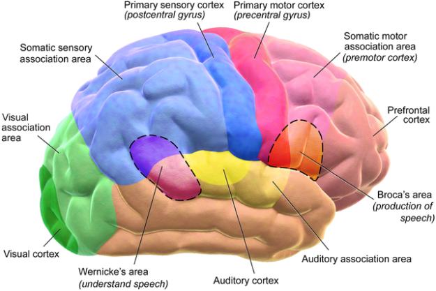 Brain Motor and Sensory