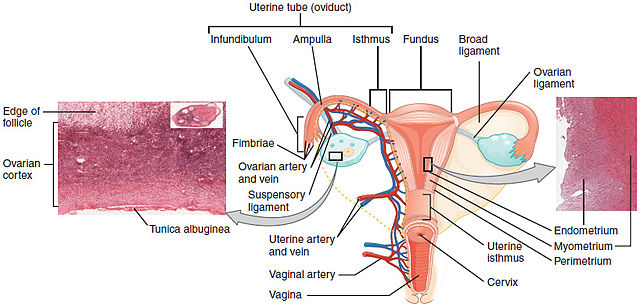 changes in virginity complex And should it be called a hymen or vaginal corona  the vaginal opening changes in appearance from birth to puberty  the hymen (or vaginal corona) and virginity.