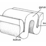 Gyrus - sulcus brain anatomy