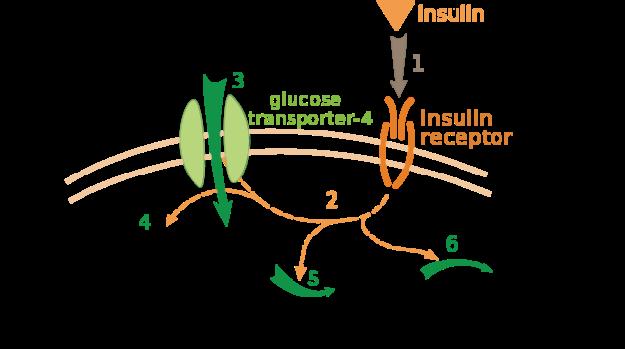 Insulin-glucose metabolism