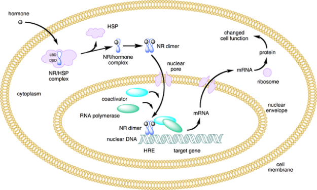 nuclear receptor action type 1