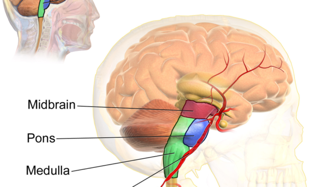 Brainstem Anatomy