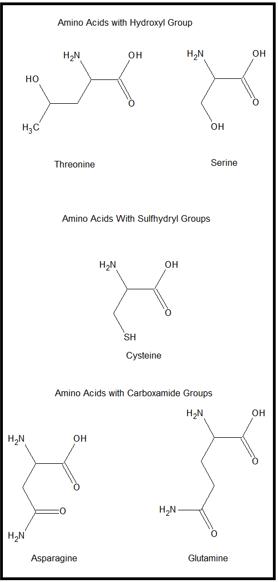 Hydrophilic Amino Acids