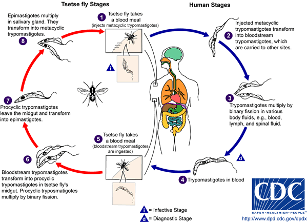 Life cycle of the Trypanosoma brucei parasites