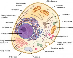 Human Cell graphic