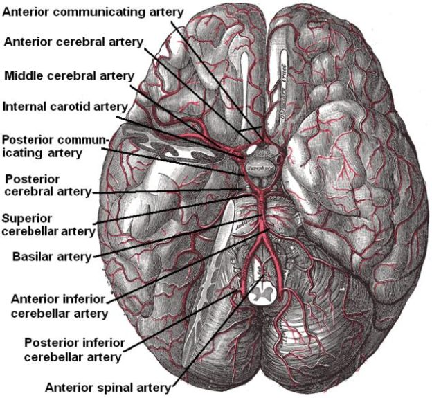 Arteries beneath brain Gray