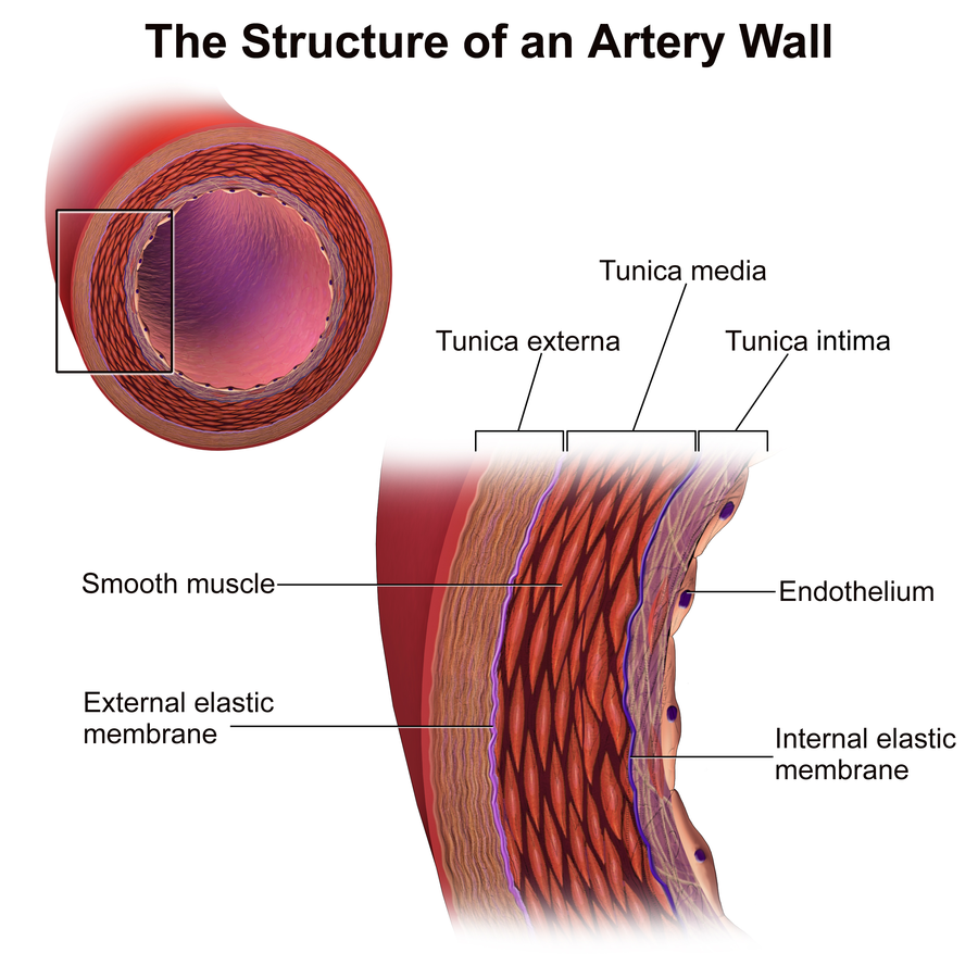 Diagram of Artery Wall Structure