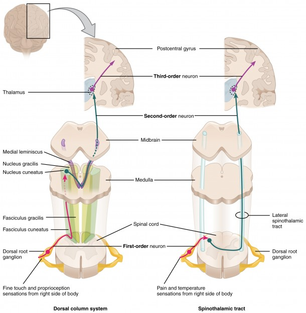 Ascending Sensory Pathways of the Spinal Cord