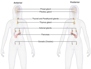 Female Endocrine System