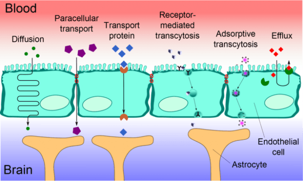 Blood-brain barrier transport