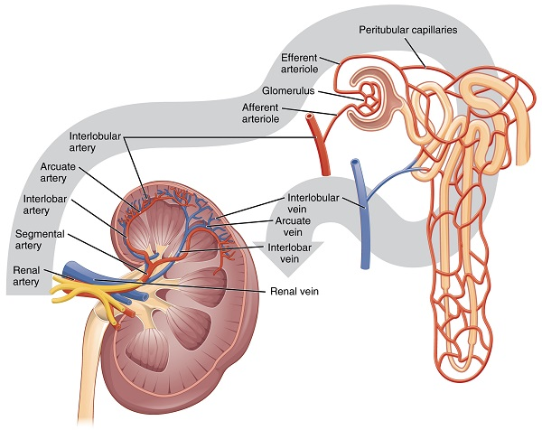 Schema of Renal Blood Flow